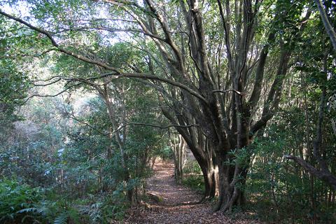 尾鷲市の三木埼遊歩道の照葉樹林と巨木