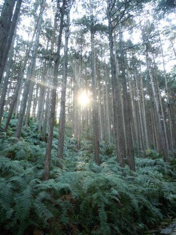 熊野古道伊勢路・馬越峠の尾鷲ヒノキ林の木漏れ日
