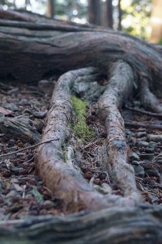 馬越峠道の木の根