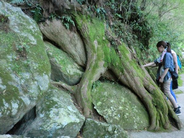 よみがえりの那智山エコツアーにて、巨木に触れる女性参加者