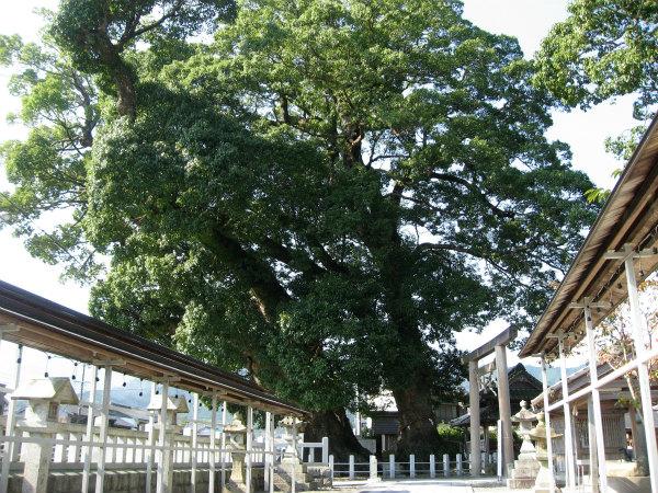 尾鷲神社のクスノキ
