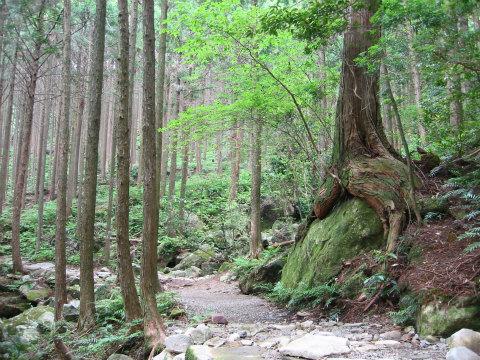 熊野古道馬越峠・おしりヒノキ付近
