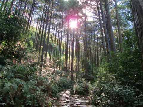熊野古道伊勢路・馬越峠の尾鷲ヒノキ林