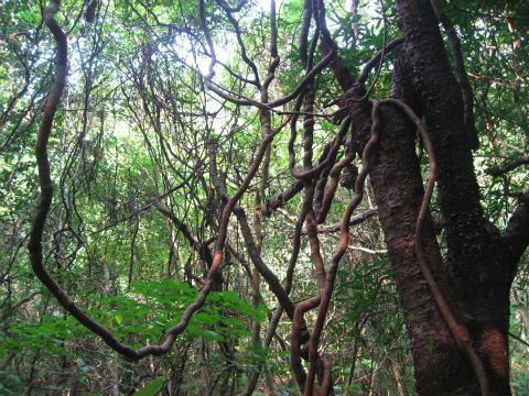 楯ヶ崎の照葉樹林と絡まる蔓