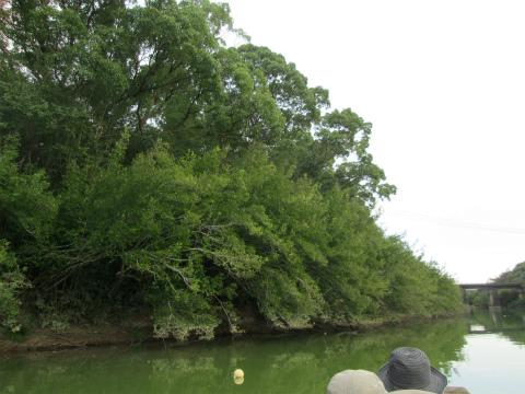 御浜町志原川のハマナツメ群落を川舟から見る