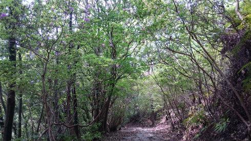 熊野古道伊勢路・馬越峠のモチツツジ林