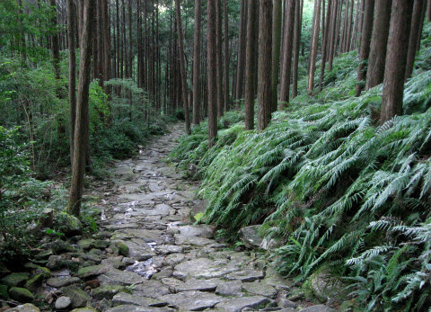 熊野古道伊勢路・馬越峠の石畳と尾鷲ヒノキ森林とシダ群生