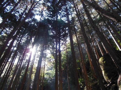 熊野古道伊勢路・八鬼山越えのヒノキ林