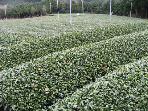 大台町神瀬の茶畑