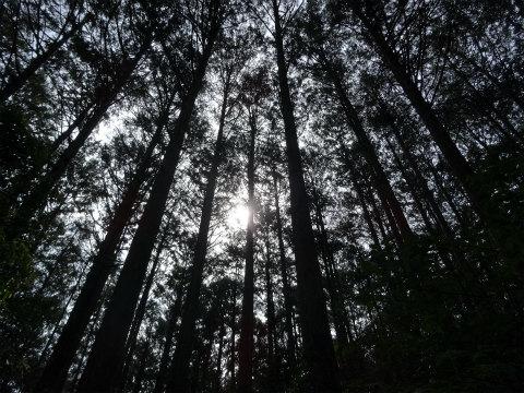熊野古道伊勢路・馬越峠の尾鷲ヒノキ森林