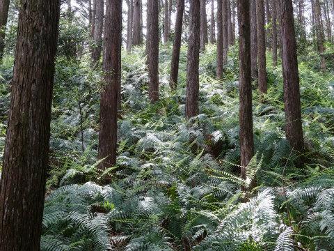 熊野古道伊勢路・馬越峠の尾鷲ヒノキ森林とウラジロ群生