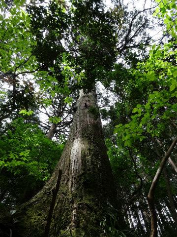 熊野古道伊勢路・馬越峠の尾鷲ひのき巨木