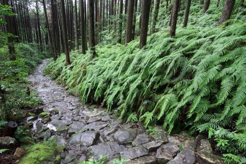 熊野古道伊勢路・馬越峠の石畳とシダ
