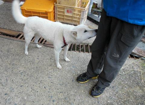 御浜町阪本に暮らす紀州犬