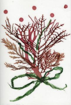 海藻押し葉2