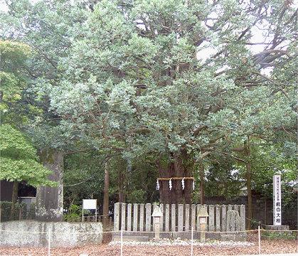 熊野速玉大社のご神木ナギの大樹