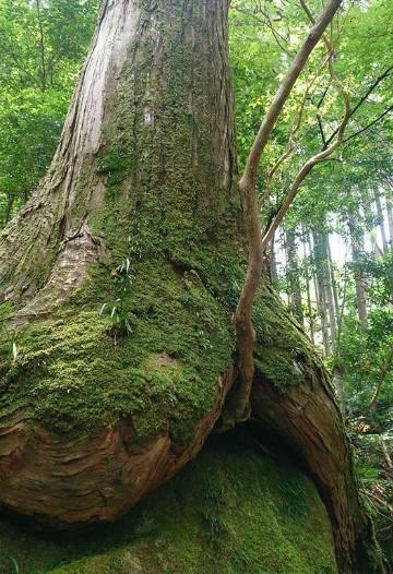 熊野古道伊勢路・馬越峠のお尻ヒノキ