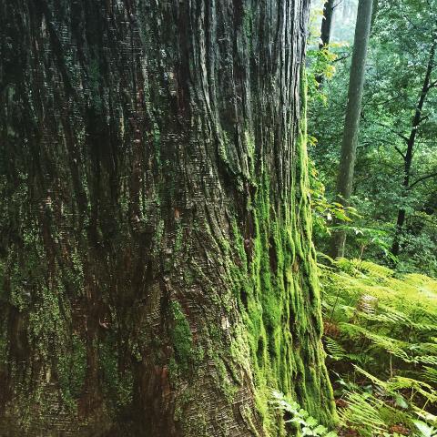 熊野古道伊勢路・馬越峠の杉巨木と苔