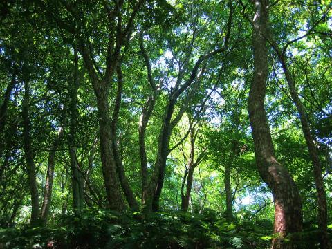 楯ヶ崎の照葉樹林