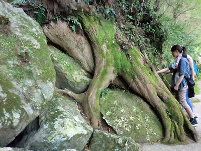 那智山の巨木に触れる女性