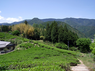 伏拝の茶畑